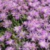 drosanthemum_intermedium