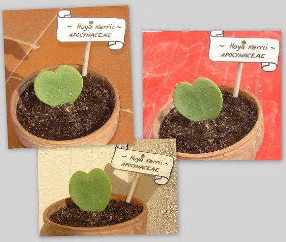 page 6 solandra galerie de photos cactus e dintorni il sito per appassionati di piante grasse. Black Bedroom Furniture Sets. Home Design Ideas