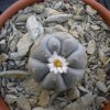 Lophophora williamsii.